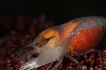 Snapping shrimp (Synalpheus neomeris) with eggs. Picture was taken in Lembeh strait, Indonesia