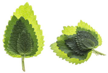Wall Mural - lemon balm leaf (Melissa officinalis) isolated on a white background