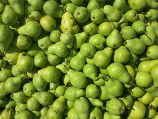Fruits of pears harvested and stored for transport, organic farming