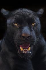 Deurstickers Panter black panther shot close up with black background
