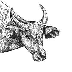 Realistic portrait of farm animal Cow. Vintage engraving. Black and white hand drawing. Vector