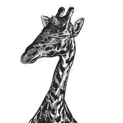 Realistic portrait of African animal Giraffe. Vintage engraving. Black and white hand drawing. Vector