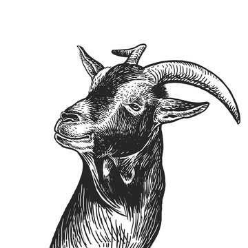 Realistic portrait of farm animal Goat. Vintage engraving. Black and white hand drawing. Vector