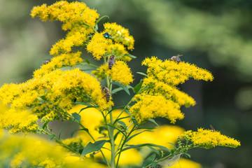 Goldrute mit Bienen bei Nahrungssuche