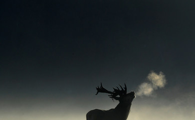 A deer stag barks in the early morning light during the rutting season in Richmond Park, west London