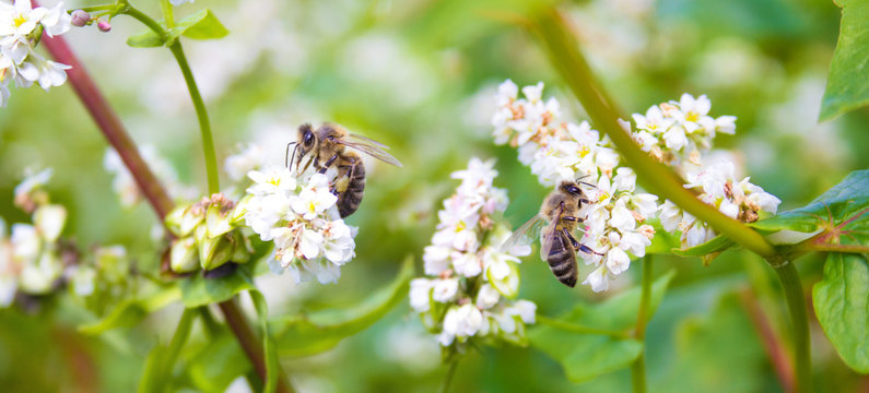 Bees working of common buckwheat. Collecting nectar for honey from cultivated flower fagopyrum esculentum.