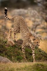 Cheetah climbs down bank among whistling thorns