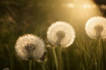 Dandelions on meadow in sunlight