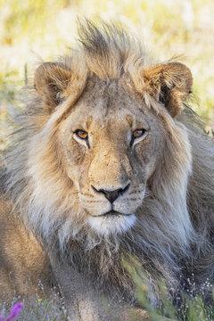 Botswana, Kgalagadi Transfrontier Park, lion, Panthera leo, male