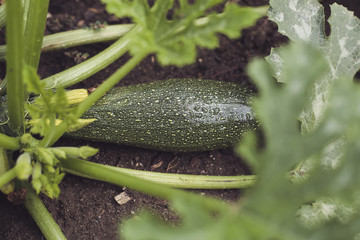 harvest fresh bio zucchini, courgette