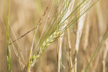 agriculture grain cereal