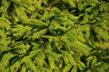 green, tree, plant, nature, fern, branch, leaf, forest, fir, pine, evergreen, texture, summer, bush, leaves, christmas, garden, backgrounds, fresh, natural, spruce, coniferous, woods, needle, foliage