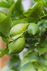 harvest fresh bio lemon