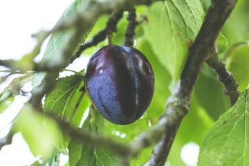 harvest fresh bio plum