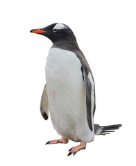 Gentoo penguin isolated on white background