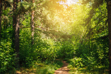 A fabulous relic forest. Pinery. Nature. Outdoors background