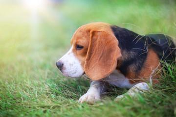 Beagle dog sitting on the green  grass.