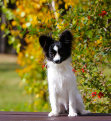 Cute white and black dog posing on a wooden bench on the background of yellow autumn trees. A small puppy sits on the street. The concept postcards with animals. The continental toy Spaniel. Papillon.