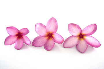 Isolated plumeria flowers on the white background.it is beauty. blooming and refreshing