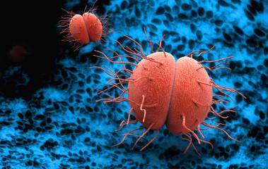 Bacteria Neisseria gonorrhoeae or Neisseria meningitidis, gonococcus and meningococcus