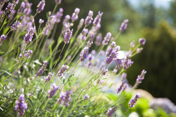 Fotomurales - Bushes of lavender are lilac, violet, purple. Flowers are blooming in spring and summer at sunset in town street garden and fields outdoor.