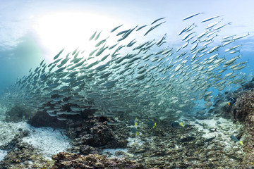 Fish school in the Galapagos waters