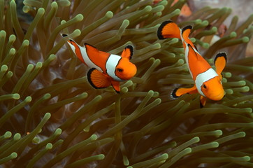 two clownfish in anemone