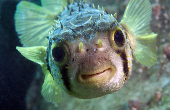 Spiny Porcupine Fish smiles at camera