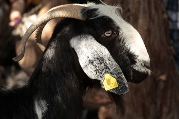 goat on the farm