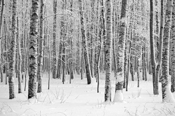 Winter wood, black and white photo