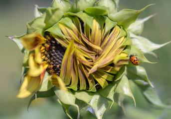 Ladybug on Opening Sunflower