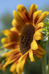 Close-up of Big Gold and Orange Sunflower