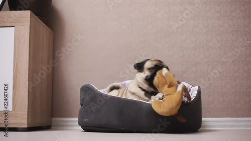Awesome A Cute Pug Dog Sit In Lounger Playing With A Toy Stock Machost Co Dining Chair Design Ideas Machostcouk