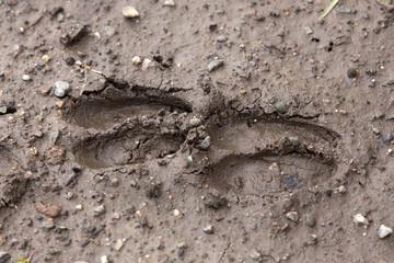 two deer tracks in wet mud