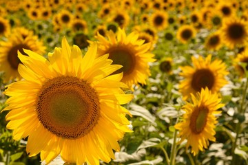 Sunflowers Field at Sunny Day - Close Up