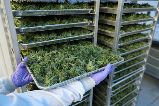 An employee displays cannabis buds at Hexo Corp's facilities in Gatineau