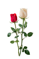 Red rose and white rose