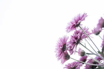 Purple chrysanthemum/Hazy dreamy flower background