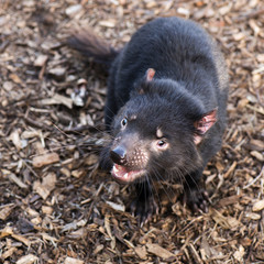 Tasmanian Devil outside during the day in Tasmania.