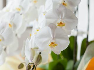 白い胡蝶蘭のクローズアップ
