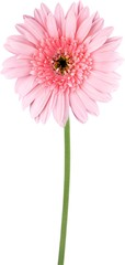 Daisy pink flower green stem close-up blooming petals abloom