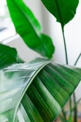 観葉植物オーガスタのクローズアップ