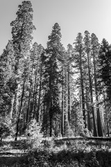 Giant sequoias at Yosemite National Park