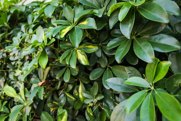 Dwarf Umbrella Schefflera actinophylla ornamental plants Pattern, Green Leaves Textured or Green Bush Background