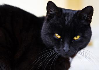Wall Mural - black cat portrait