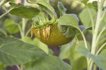 ripe sunflower in the garden