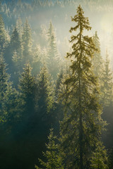 Fotobehang Bossen spruce tree in beautiful light. distant forest in morning haze. wonderful autumn nature background