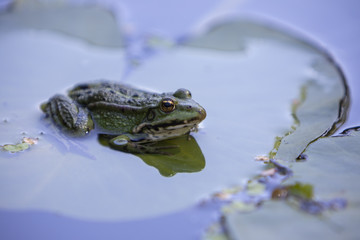 Lithobates clamitans, green frog sitting on a leaf of a water lily