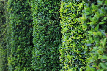 Green topiary hedging wall with copy space