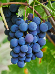 Close-up of a red grape in a vineyard in Vrancea, Romania, at harvest time